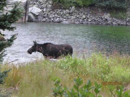 CT Moose